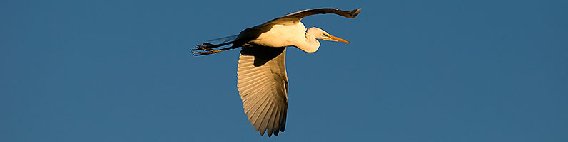 Great Egret in flight at Freestone Park