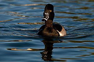 Ring-necked Duck at Freestone Park