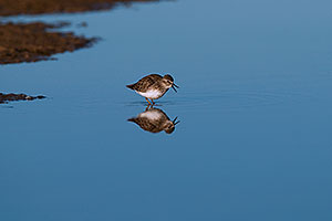 Least Sandpiper at Riparian Preserve