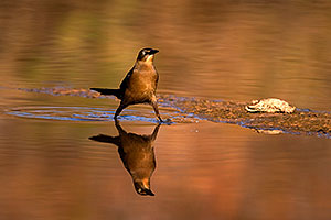 Great-tailed Grackle at Riparian Preserve