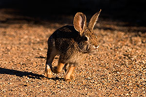 Desert Cottontail at Riparian Preserve