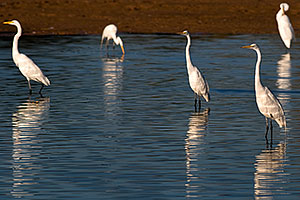 Great Egrets at Riparian Preserve