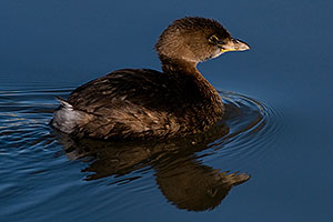 Pied-billed Grebe at Riparian Preserve