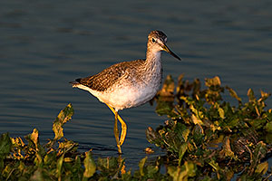 Greater Yellowlegs at Riparian Preserve