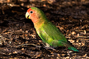 Peach-faced Lovebird at Riparian Preserve