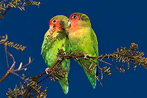 Peach-faced Lovebirds at Riparian Preserve