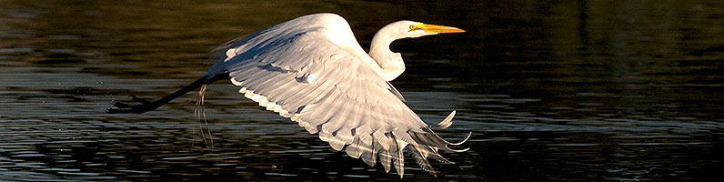 Great Egrets flying at Riparian Preserve