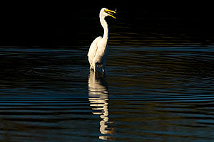 Great Egret with a fish in his bill at Riparian Preserve