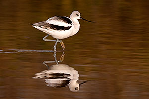 Avocet at Riparian Preserve