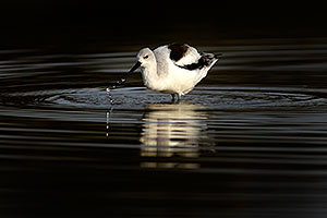Avocet and water droplets at Riparian Preserve