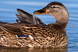 Mallard [female] showing off her feathers at Riparian Preserve