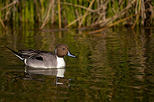 Northern Pintail at Riparian Preserve