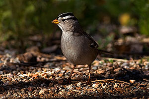 White-crowned Sparrow at Riparian Preserve