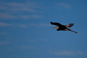 Great Blue Heron in flight at Riparian Preserve