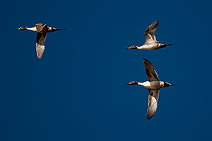Northern Pintails at Riparian Preserve