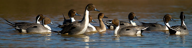 9 male Northern Pintails chasing a single female at Riparian Preserve