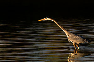 Great Blue Heron at Riparian Preserve