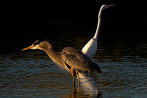 Great Blue Heron [front] and Great Egret at Riparian Preserve