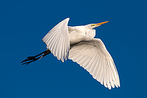 Great Egret in flight at Riparian Preserve