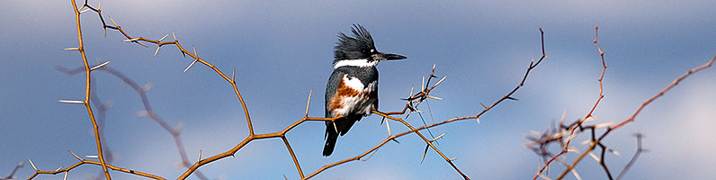 Belted Kingfisher [female] at Riparian Preserve