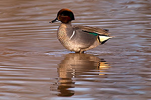 Green-winged Teal [male] with puffy head at Riparian Preserve