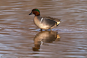 Green-winged Teal [male] at Riparian Preserve