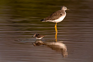 Least Sandpiper [front] and Greater Yellowlegs [back] at Riparian Preserve