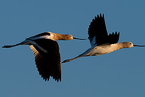 Avocets in flight at Riparian Preserve