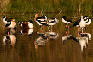 Avocets in breeding plumage at Riparian Preserve