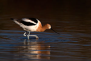 Avocet in breeding plumage at Riparian Preserve