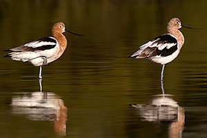 Avocet in breeding plumage [left] and transitional plumage [right] at Riparian Preserve