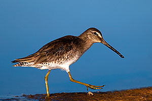 Long-billed Dowitcher at Riparian Preserve