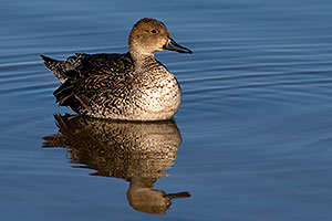Northern Pintail [female] at Riparian Preserve
