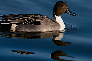 Northern Pintail [male] with double head reflection at Riparian Preserve