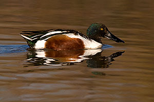 Northern Shoveler [male] at Riparian Preserve