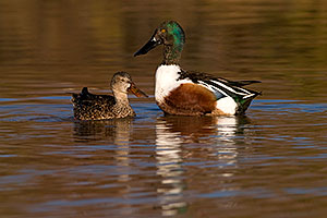 Northern Shovelers at Riparian Preserve