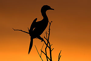 Neotropic Cormorant at sunset at Riparian Preserve