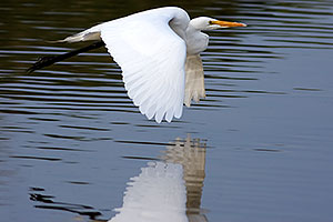 Great Egret at Riparian Preserve