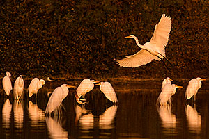 10 Great Egrets at Riparian Preserve