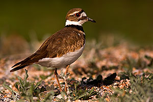 Killdeer at Riparian Preserve