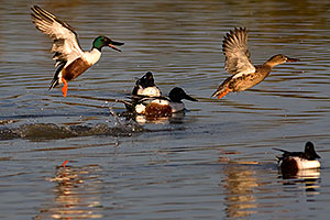 Northern Shoveler [male] chasing [female] at Riparian Preserve