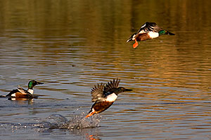 Northern Shovelers [males] at Riparian Preserve