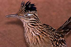 Roadrunner at Phoenix Zoo