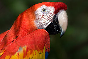 Scarlet Macaw at Phoenix Zoo