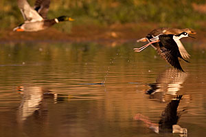 Black Necked Stilt flying with Mallards at Riparian Preserve