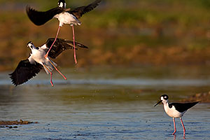 Black Necked Stilts fighting at Riparian Preserve