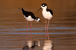 Black Necked Stilts [female, left] ready to mate