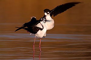 Black Necked Stilt [male right] during mating