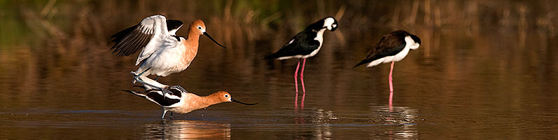 American Avocets mating at Riparian Preserve