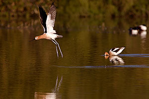 American Avocets at Riparian Preserve